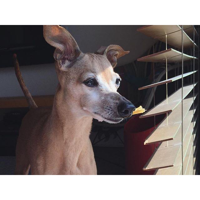 馬アキレスを咥え、庭チェックする犬