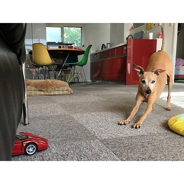 ラジコンで遊びたいらしき犬