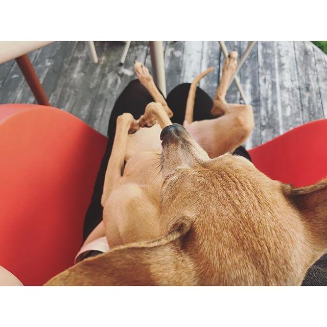 膝の上の邪魔な犬