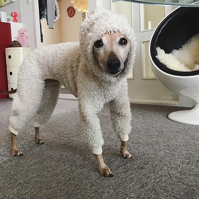 久しぶりに服を着せられ、固まる犬