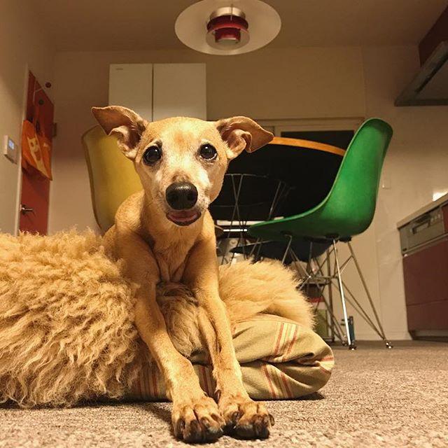 洋梨狙いの犬