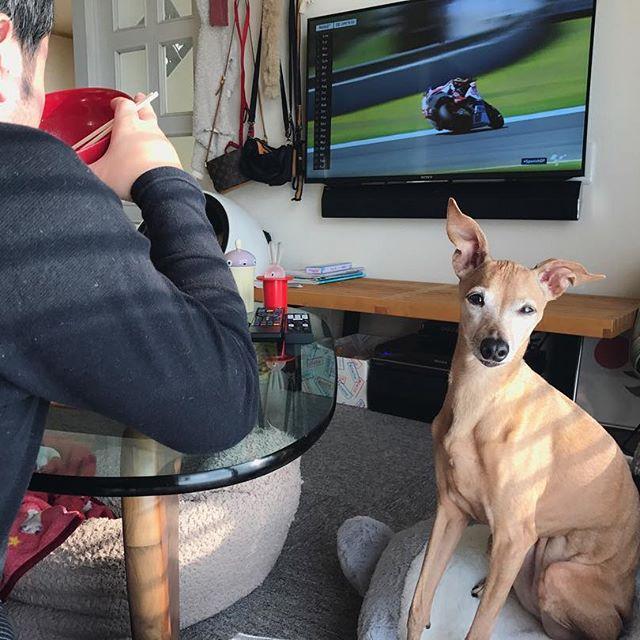 コアラに座れば食べ物が貰えると思ってる犬