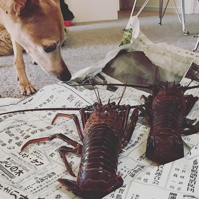 伊勢海老と犬