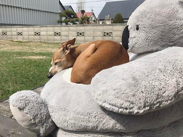 庭コアラで居眠り中