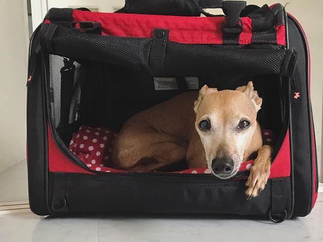 どこかに行きたいらしい犬