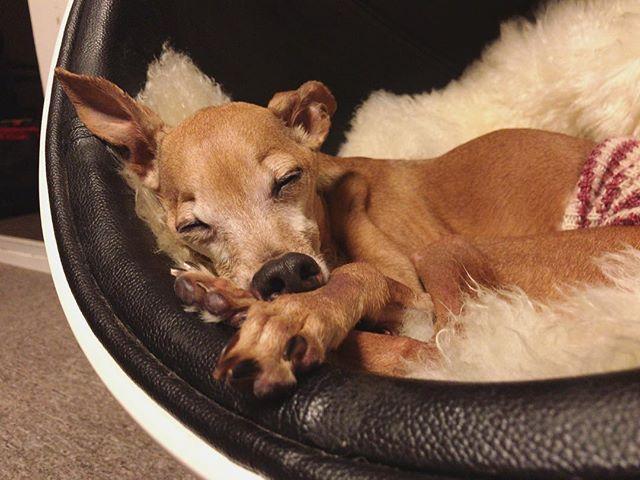 気持ち良さそうに眠る腹巻犬