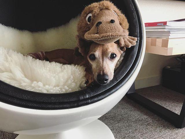 プラグインハイブリッド犬になってから体重が落ち続け、不調と普通を繰り返していたが、体重も増えて穏やかな日々を送っている腹巻犬