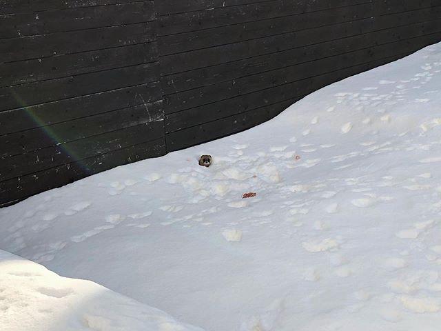 雪穴イタチ