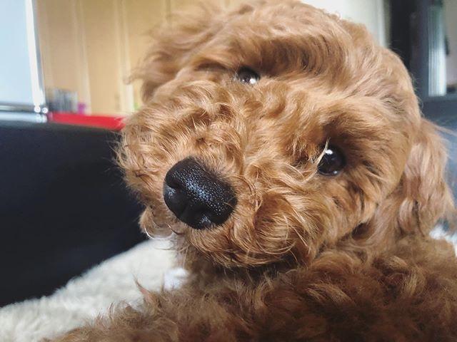 まだ生後5ヶ月なのに成犬だと思われがちなドヴィ子